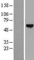 NBL1-10078 - DYRK4 Lysate