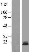 NBL1-10079 - DYSFIP1 Lysate