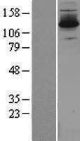 NBL1-10083 - DZIP3 Lysate