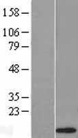NBL1-09818 - Defensin alpha 1 Lysate