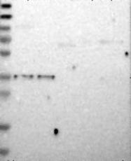 NBP1-87471 - Delta-type opioid receptor