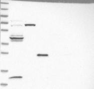NBP1-85007 - Dematin