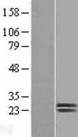 NBL1-10005 - Dermatopontin Lysate