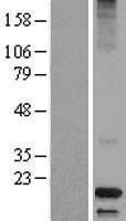 NBL1-09738 - Dermcidin Lysate