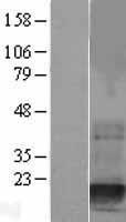 NBL1-10028 - Destrin Lysate
