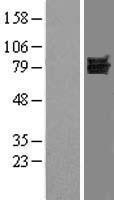 NBL1-10061 - Dishevelled / Dvl1 Lysate