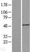 NBL1-10062 - Dishevelled / Dvl1 Lysate