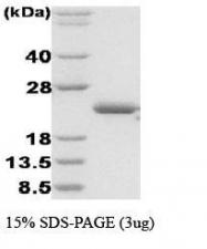 NBC1-18365 - Disulfide Oxidoreductase