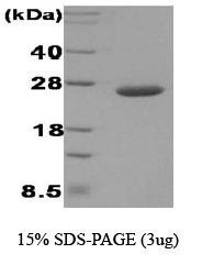 NBC1-18366 - Disulfide-bond isomerase