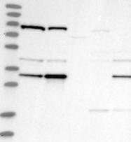 NBP1-87903 - DNAJC9