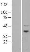 NBL1-17263 - Dnmt2 Lysate