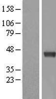 NBL1-09972 - Dnmt3L Lysate