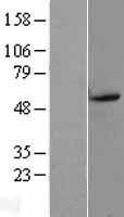 NBL1-10019 - Dopamine D5 Receptor  Lysate