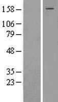 NBL1-09984 - Dot1L Lysate