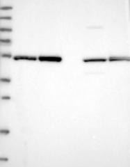NBP1-85277 - Dynactin subunit 2
