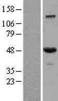 NBL1-09750 - Dynactin subunit 2 Lysate