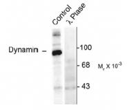 NB300-209 - Dynamin-1