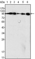 NB110-60491 - Dynamin-1