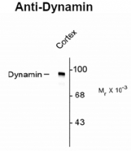 NB100-61094 - Dynamin-1
