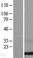 NBL1-10071 - Dynein Lysate
