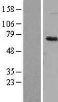 NBL1-10075 - Dyrk1B Lysate