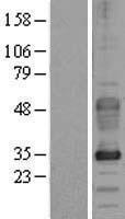 NBL1-10880 - Dysadherin Lysate