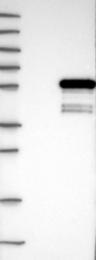 NBP1-85298 - Dysbindin