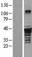 NBL1-10034 - Dysbindin Lysate