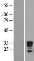 NBL1-10035 - Dysbindin Lysate