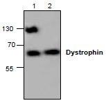 NBP1-45532 - Dystrophin / DMD