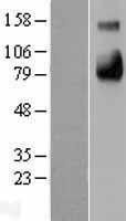 NBL1-15790 - E-selectin Lysate