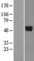 NBL1-10084 - E2F3 Lysate
