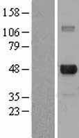 NBL1-10085 - E2F4 Lysate