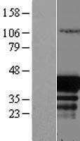 NBL1-10087 - EAF1 Lysate