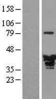 NBL1-12892 - EB2 Lysate