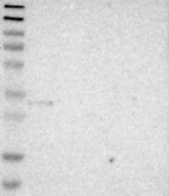NBP1-84924 - MAPRE3