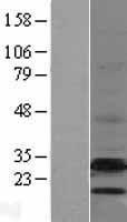 NBL1-10094 - EBP Lysate