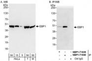 NBP1-71840 - PA2G4 / EBP1