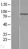 NBL1-10097 - ECEL1 Lysate