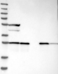 NBP1-87079 - ECHS1