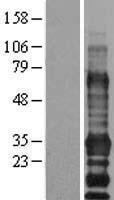 NBL1-10107 - EDARADD Lysate