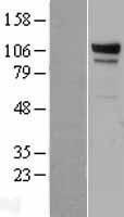 NBL1-10110 - EDEM3 Lysate