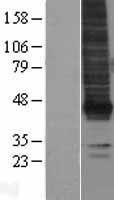 NBL1-12643 - EDG2 Lysate