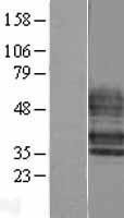 NBL1-15668 - EDG6 Lysate