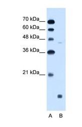 NBP1-60048 - EDG8 / S1P5