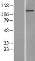NBL1-14350 - EDR1 / PHC1 Lysate