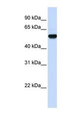 NBP1-55245 - EEF1A2