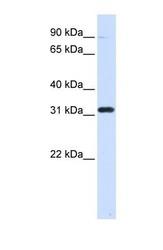 NBP1-53035 - EEF1B
