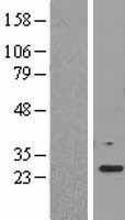 NBL1-10122 - EEF1B2 Lysate