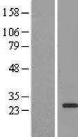NBL1-10123 - EEF1B2 Lysate